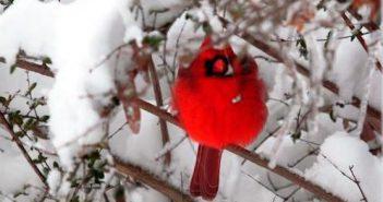 cardinal, winter, snow, NOVEC