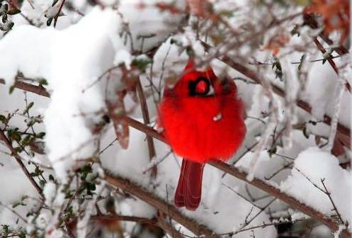 cardinal, winter, snow, NOVEC